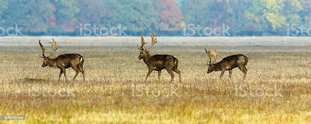 three fallow deer stags stock photo