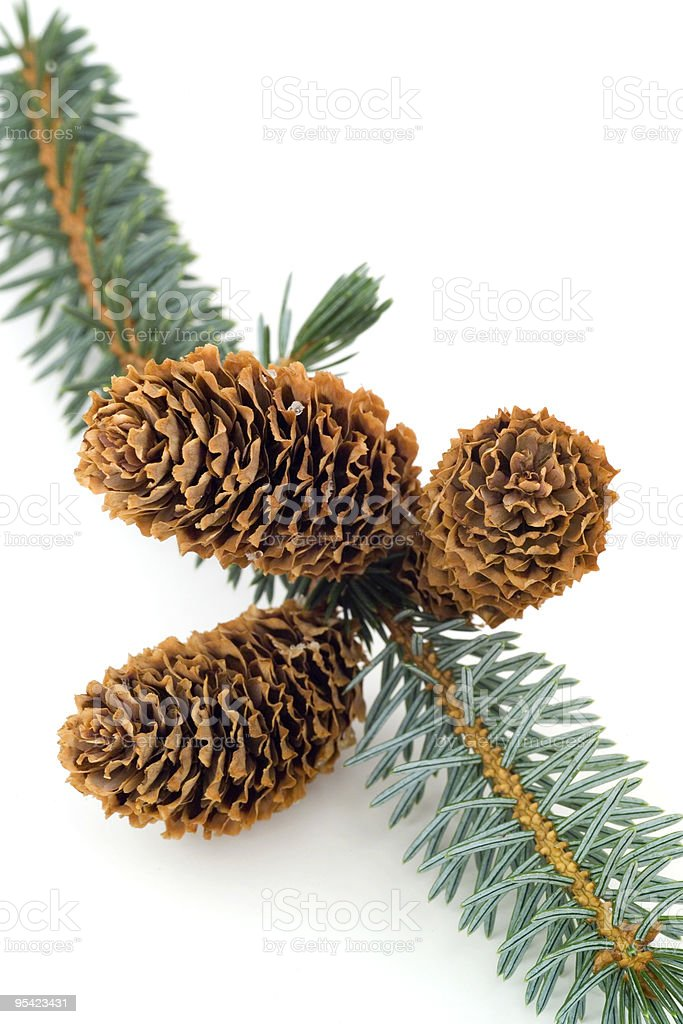 Three fir cones on a branch royalty-free stock photo