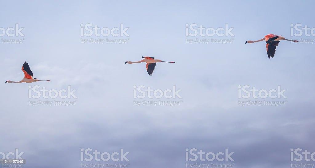 Three flamingos flying in a row stock photo