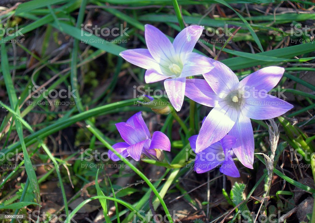 three flower of violet in the green grass stock photo