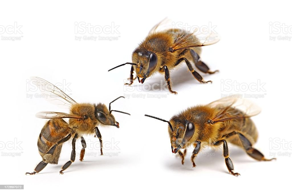 Three flying bee (isolated) XXL royalty-free stock photo