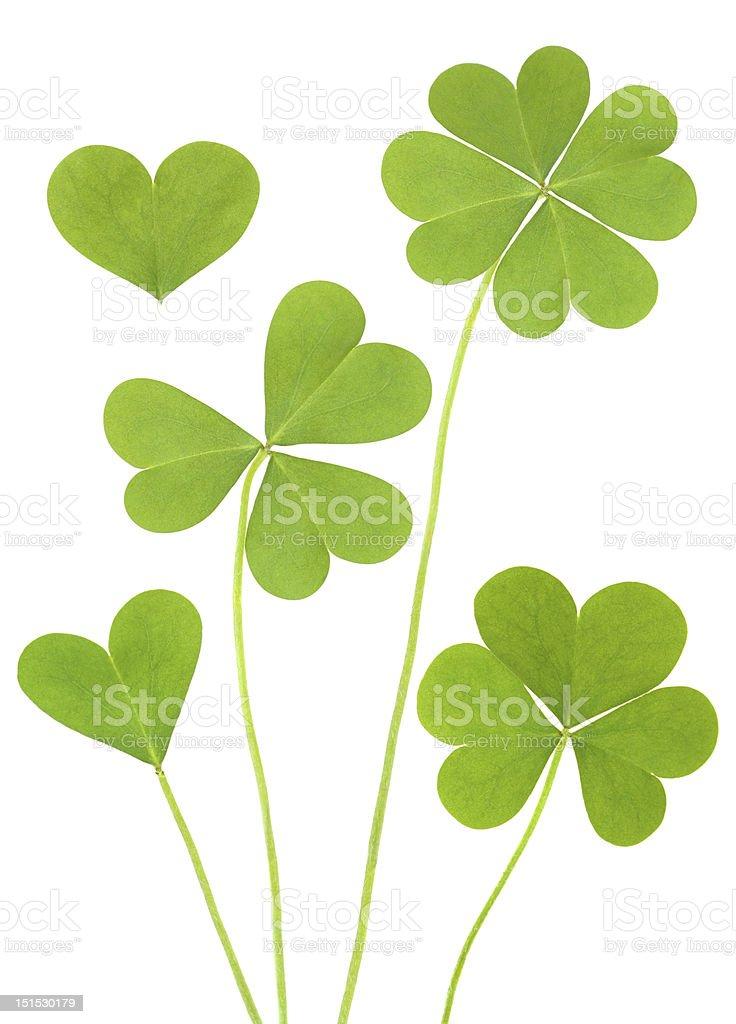 Three & Four Leaf Clovers stock photo