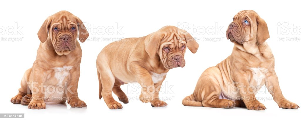 Three French Mastiff puppies stock photo