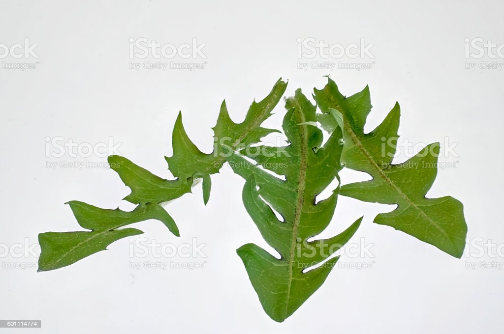 three fresh dandelion leaves for cropping stock photo