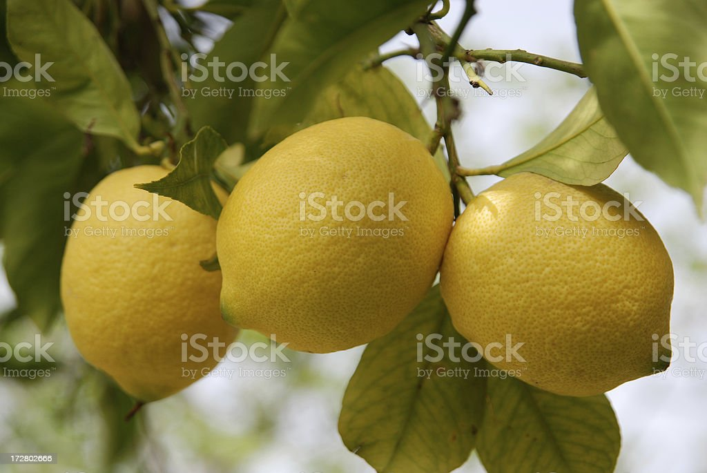 three fresh lemons royalty-free stock photo