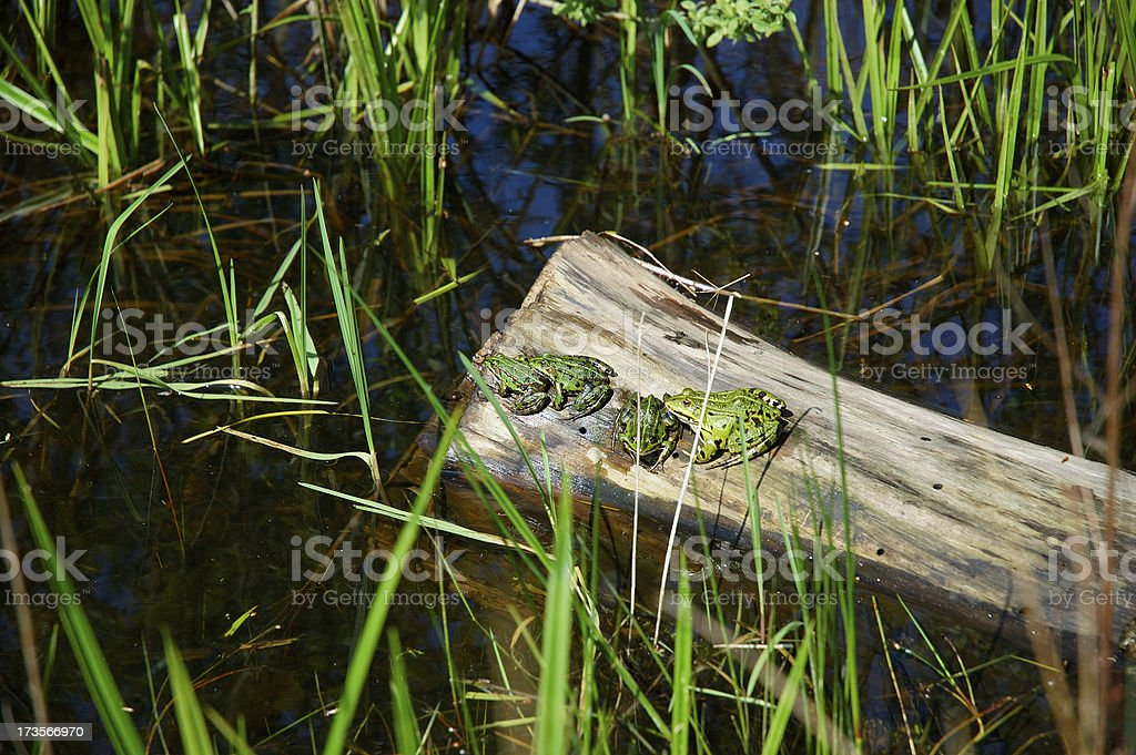 Three Frogs royalty-free stock photo