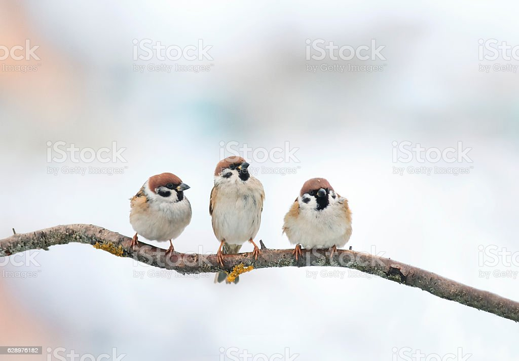 three funny birds Sparrow sitting on a branch in winter stock photo