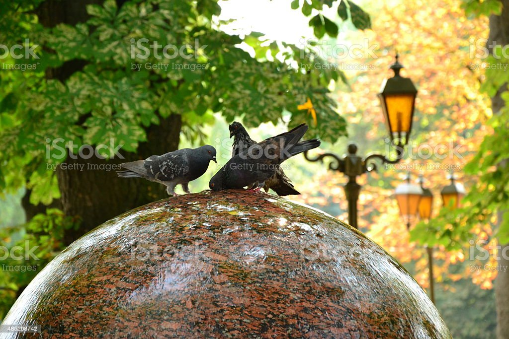 Three funny doves drink water from round fountain stock photo