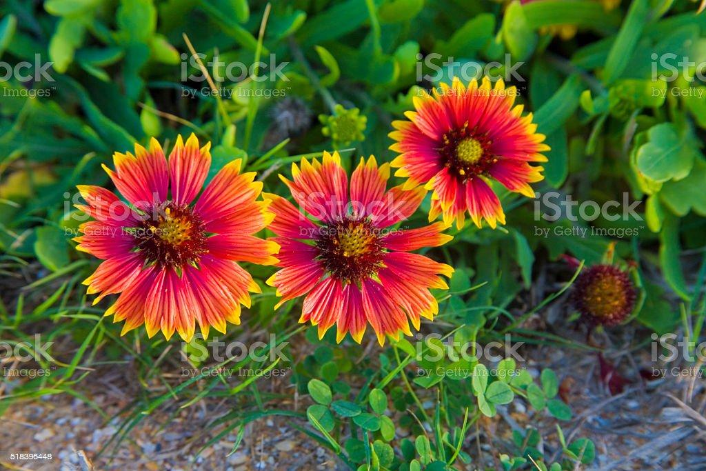 Three gaillardia flowers stock photo