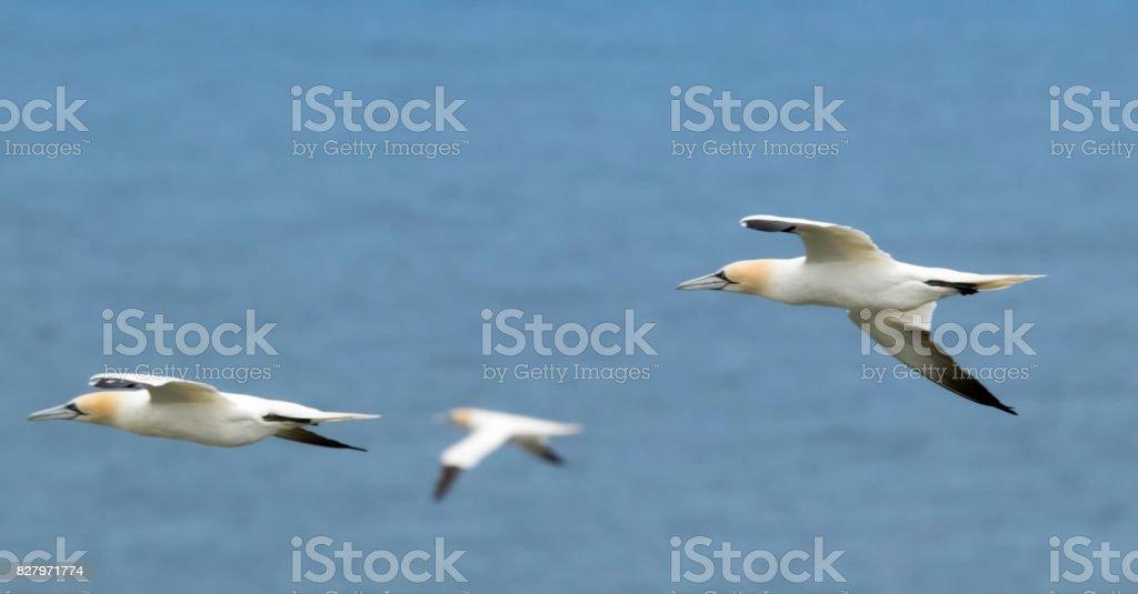 three gannet birds in flight flying beautiful bempton cliffs