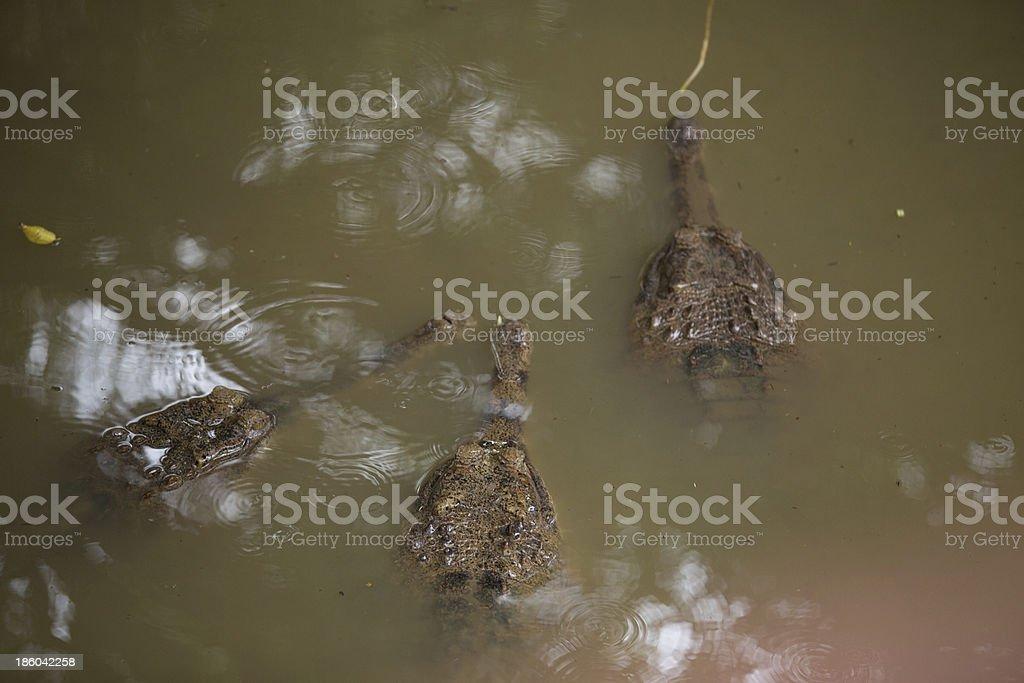 three Gavial royalty-free stock photo