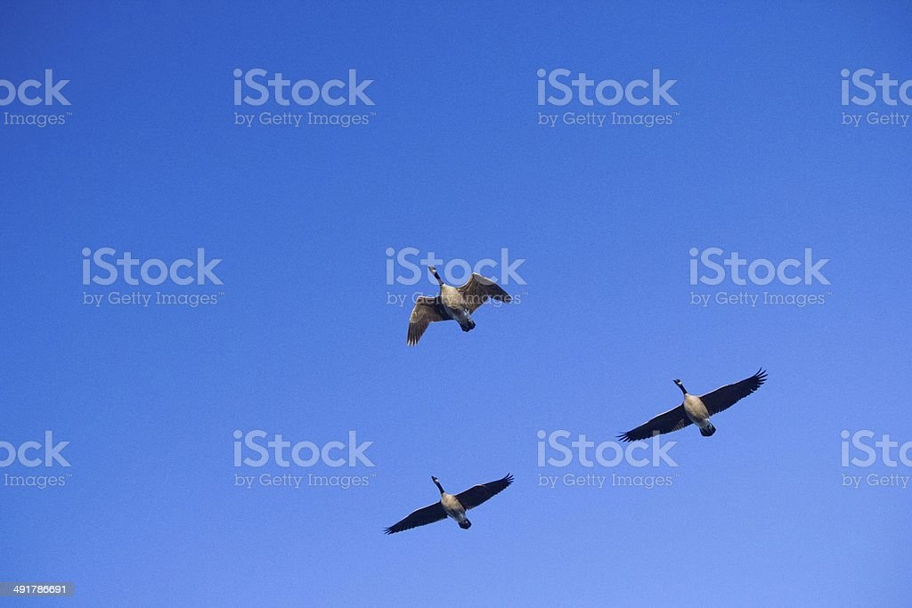 Three Geese Flying stock photo
