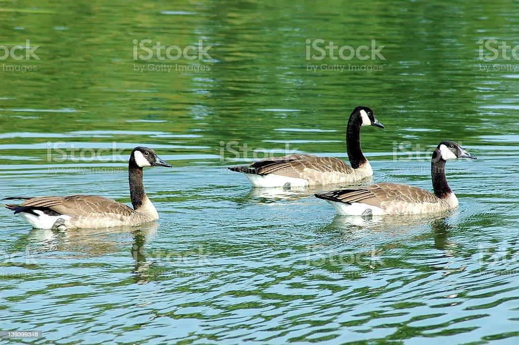 Three Geese royalty-free stock photo