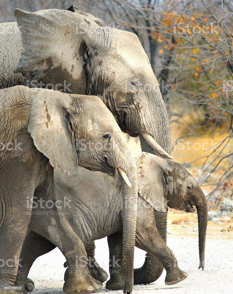 Three Generations of Elephants stock photo
