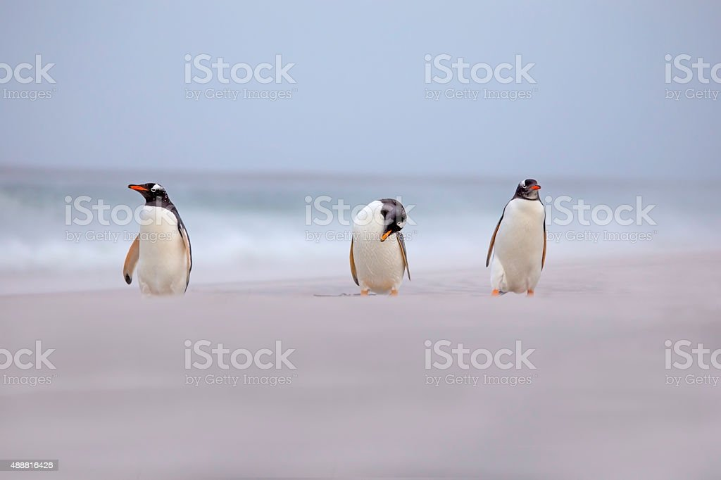 Three Gentoo Penguins on the beach. stock photo