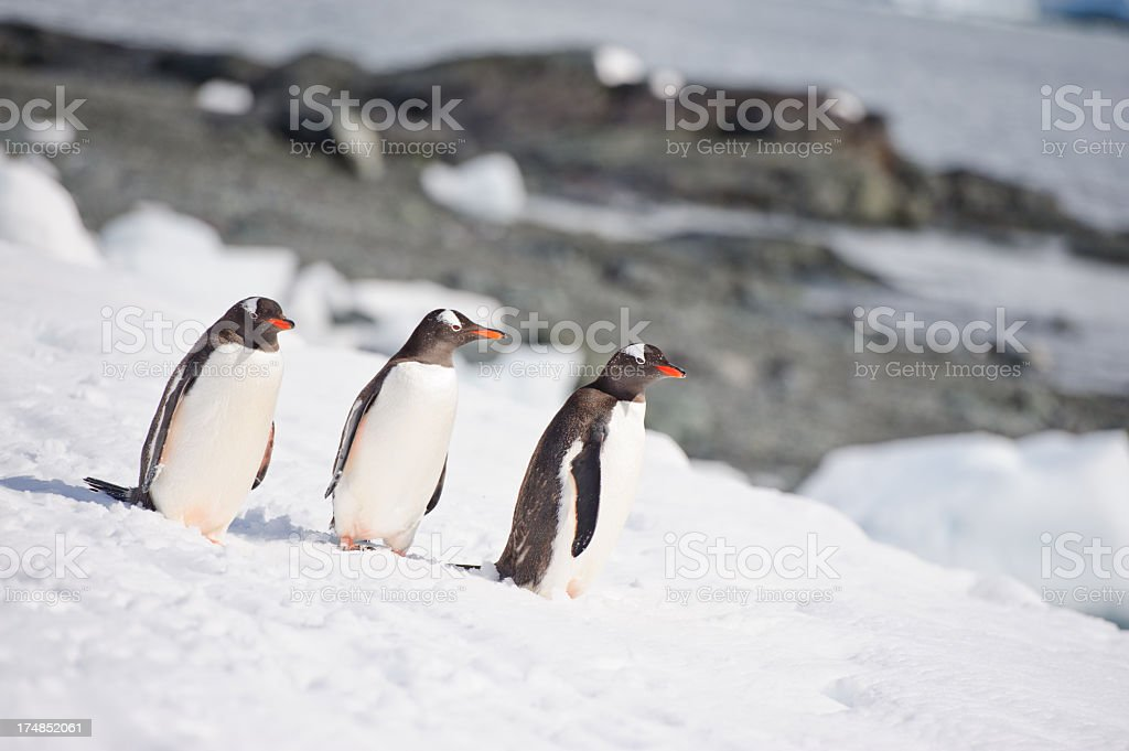 Three Gentoo penguins stock photo