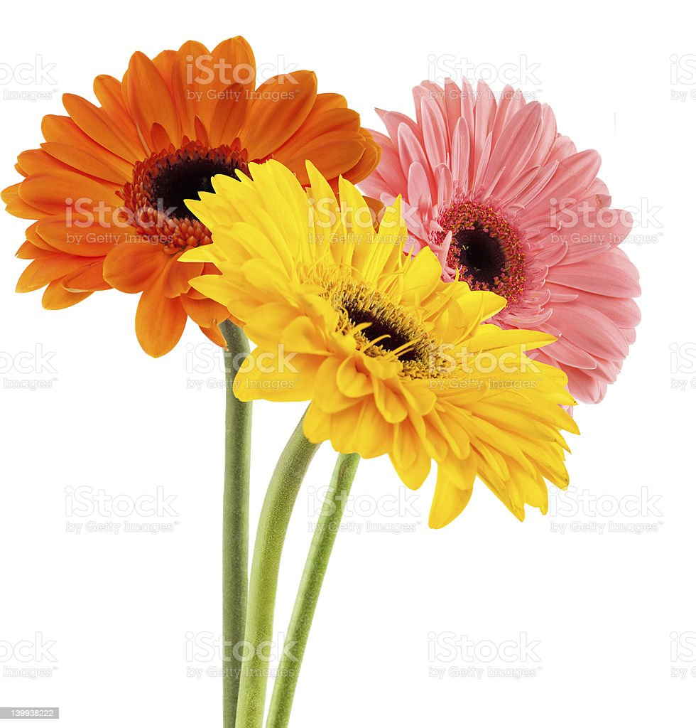 Three gerber daisies of different colors stock photo