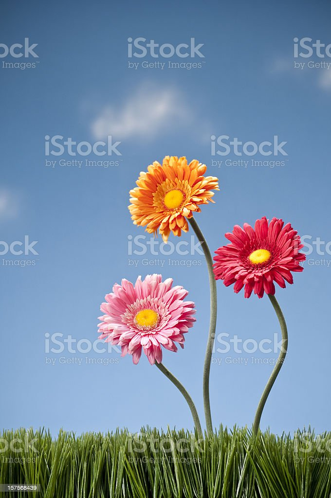 Three Gerbera Daisies Growing In The Grass royalty-free stock photo
