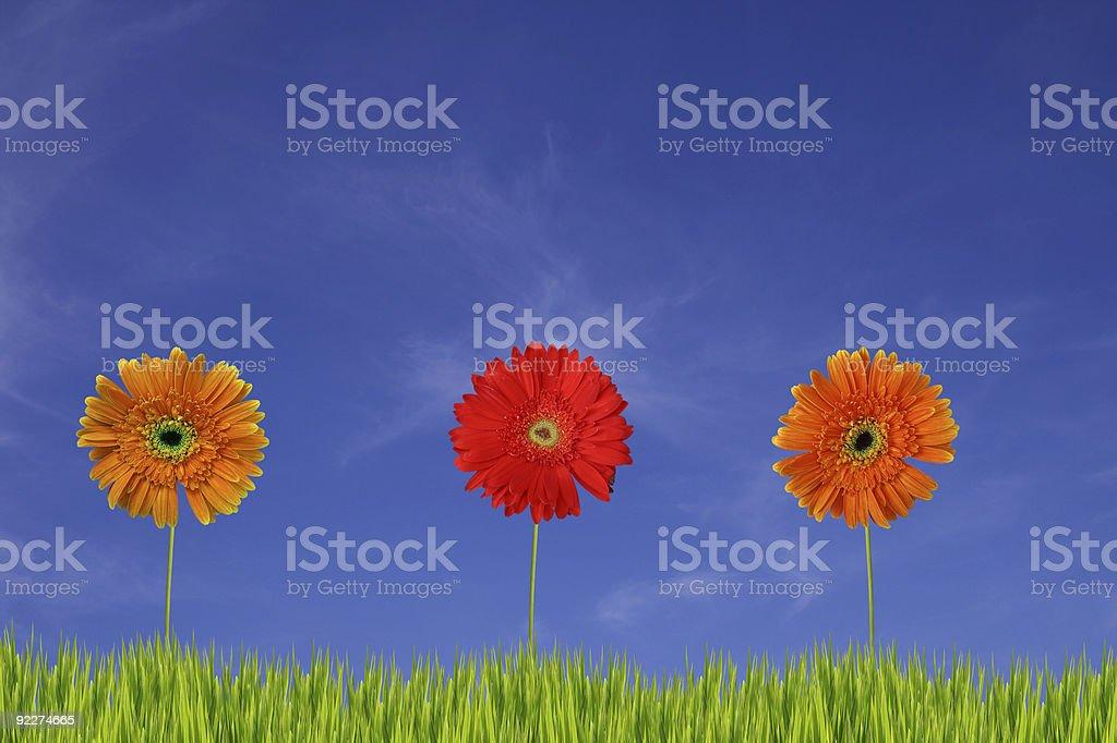 Three gerberas in the field XXL stock photo