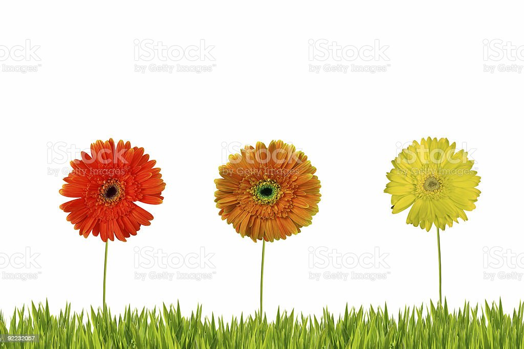 Three gerberas on grass isolated royalty-free stock photo
