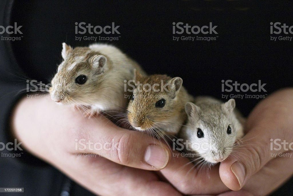 Three gerbils stock photo