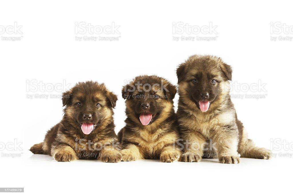Three German Shepherd puppies royalty-free stock photo