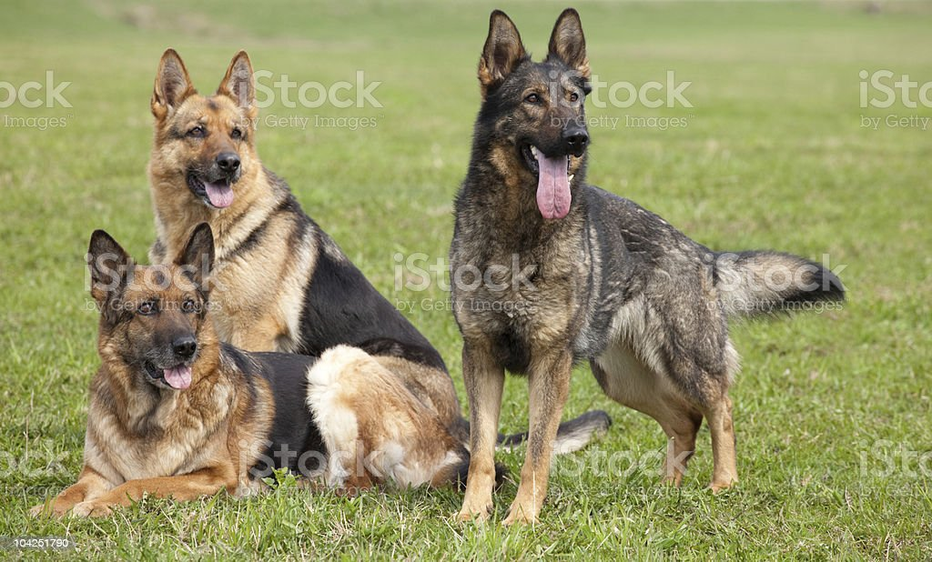 Three German shepherds stock photo