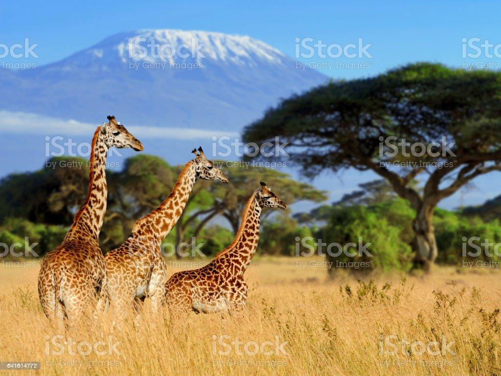 Three giraffe on Kilimanjaro mount background stock photo