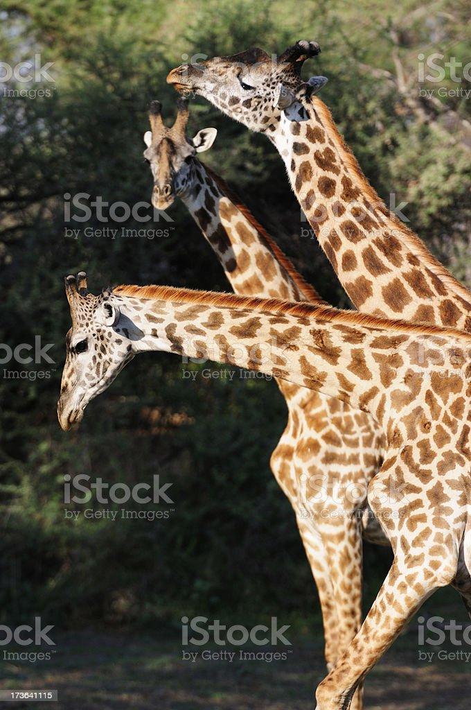 Three Giraffes Necking stock photo