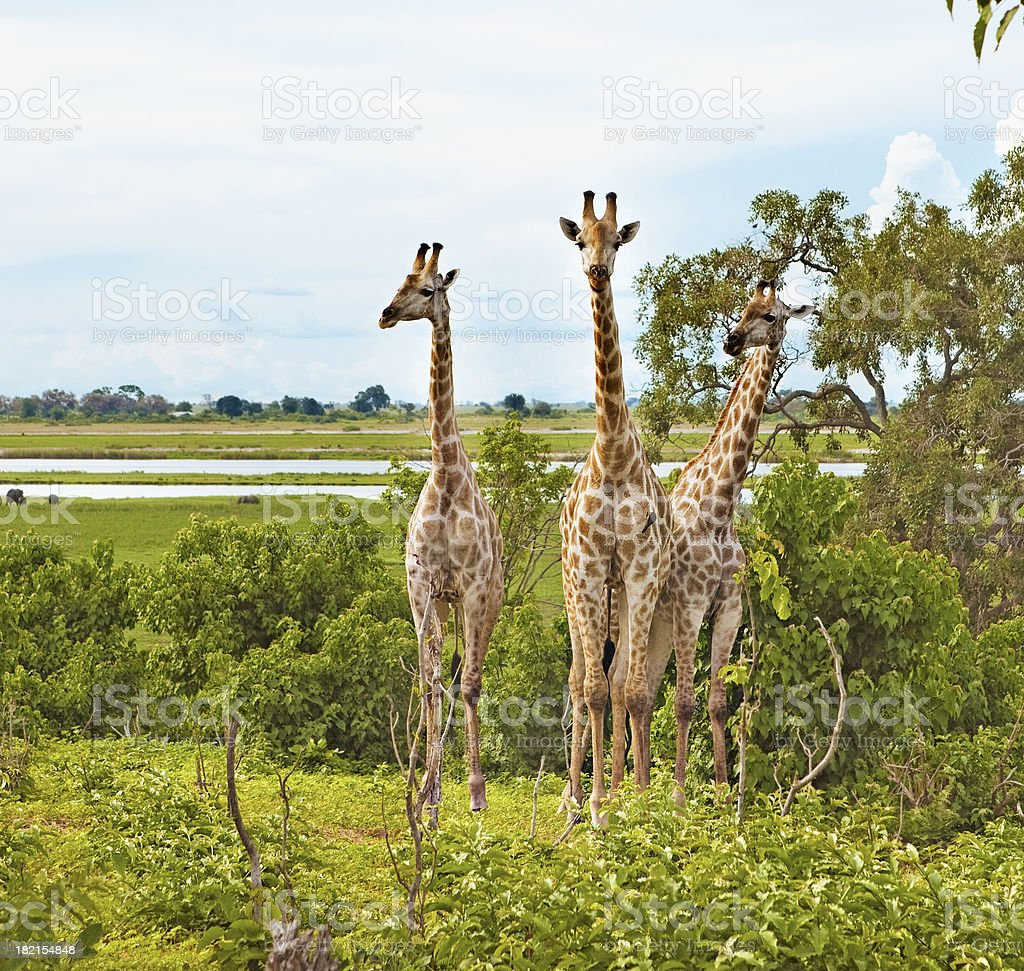 three giraffes stock photo