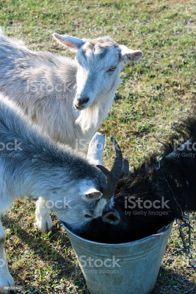 three goats drinking water stock photo