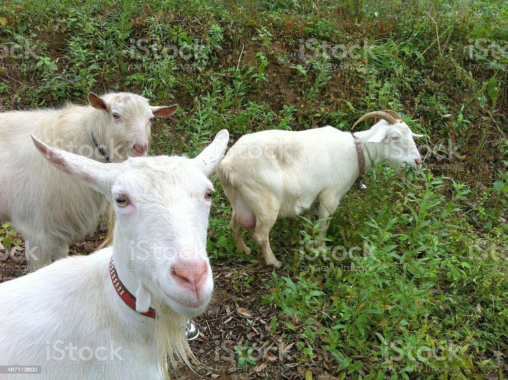 Three goats graze grass stock photo