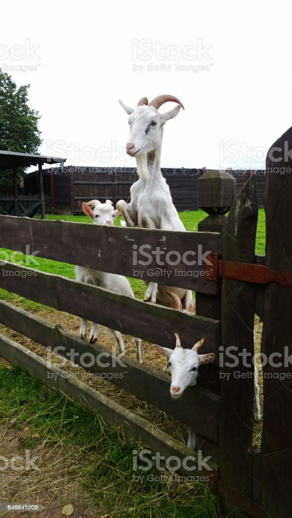 Three goats in the pen stock photo