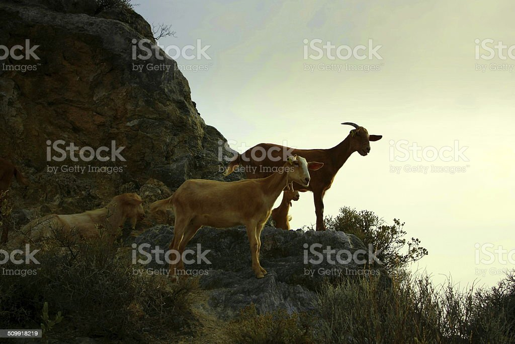Três cabras nas pedras na frente do céu à noite foto de stock royalty-free