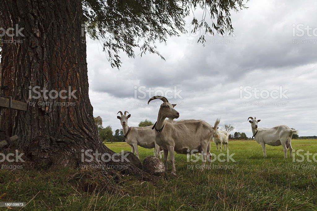 Three goats stock photo