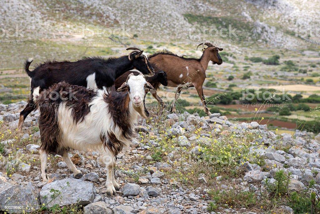 Three goats, senn in Greece stock photo