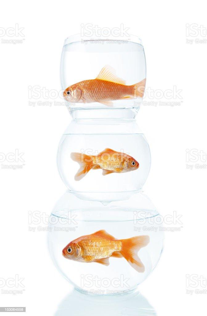 three goldfish stock photo