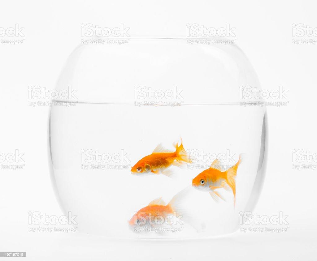 Three goldfish swimming in glass aquarium stock photo