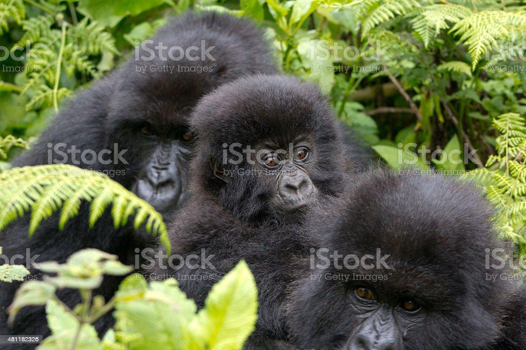 Three Gorillas stock photo