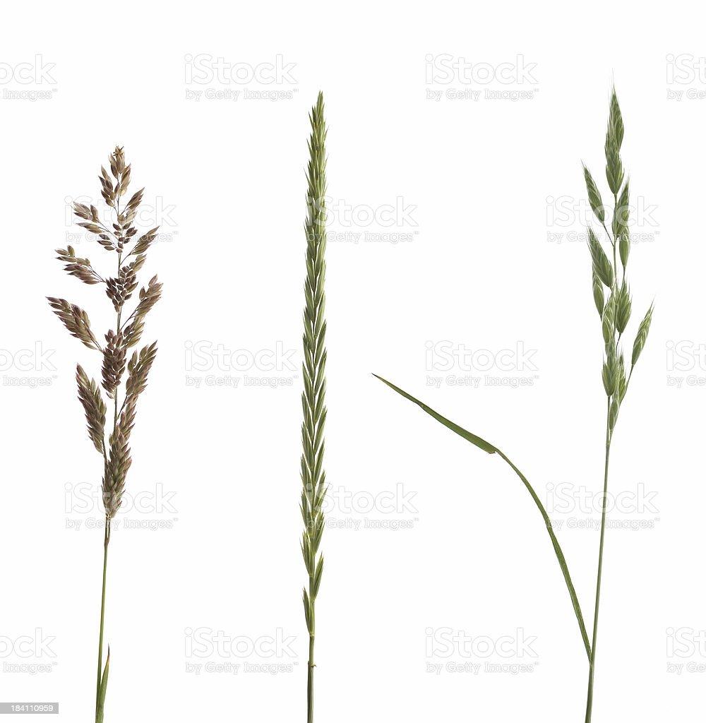 three grasses royalty-free stock photo