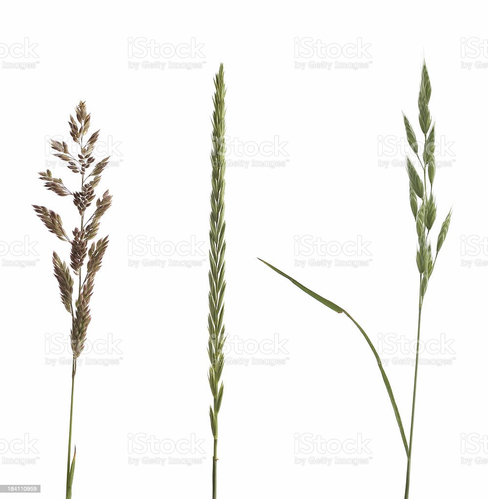 three grasses stock photo