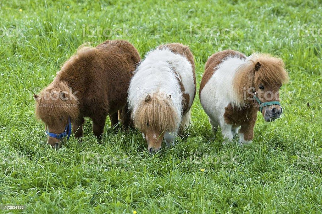 Three Grazing Falabella Ponies royalty-free stock photo