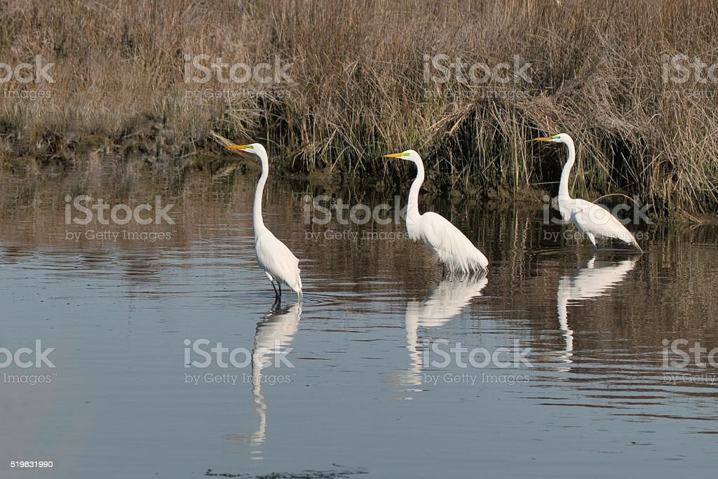 Three Great Egrets in a Row stock photo