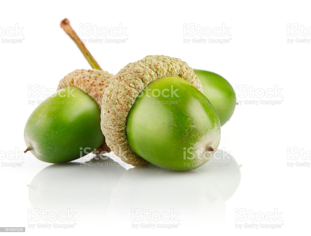 three green acorn fruits isolated stock photo