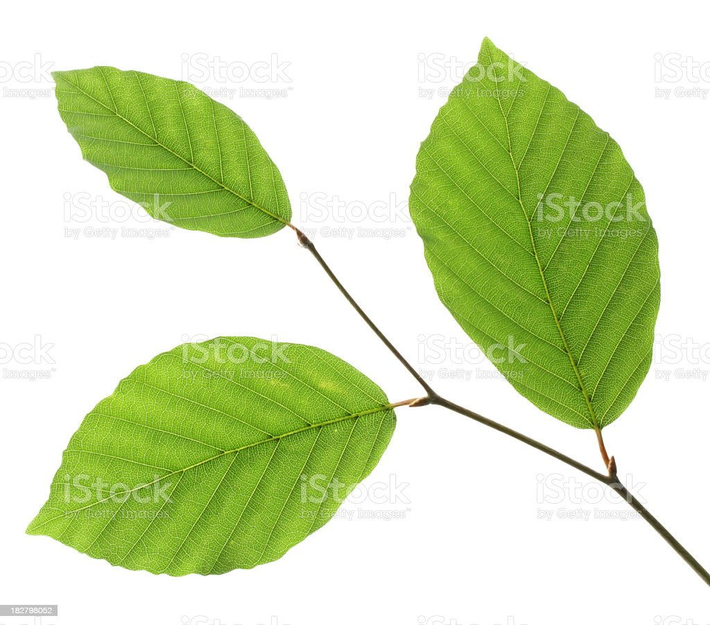 Three green leaves on a white background stock photo