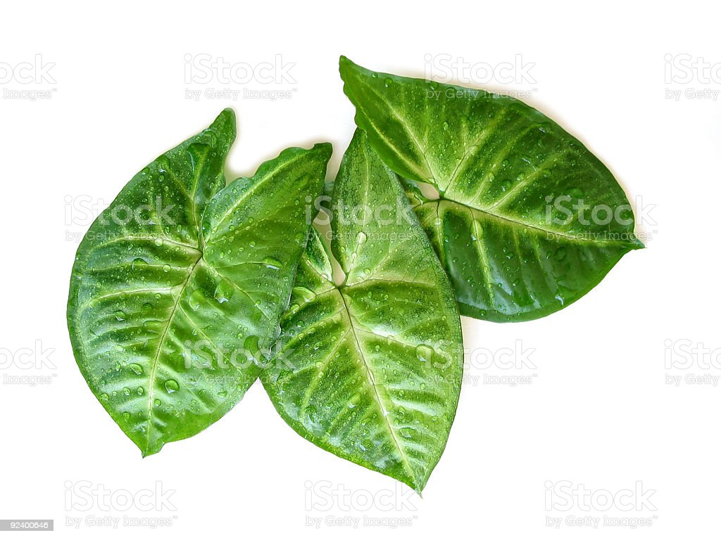 Three green leaves on white royalty-free stock photo