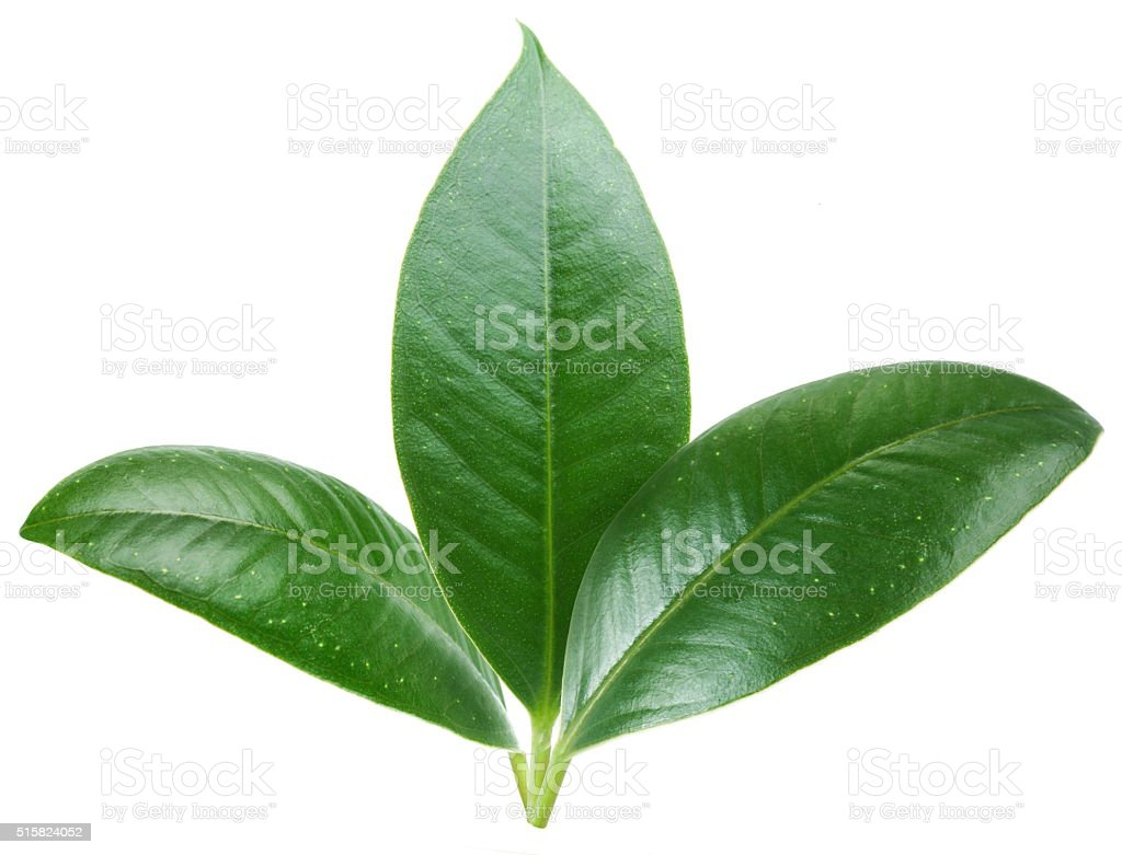Three green leaves. stock photo