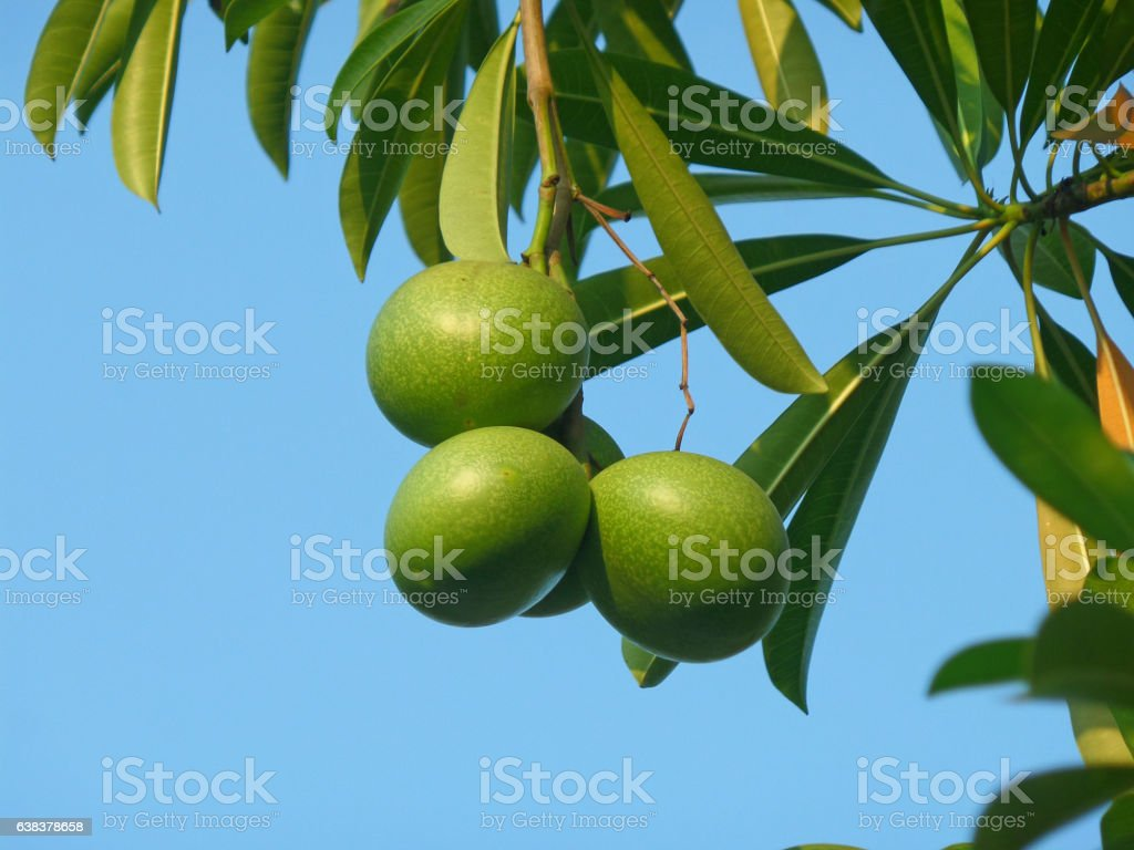Three Green Pong-Pong Tree Fruits with Green Leaves stock photo