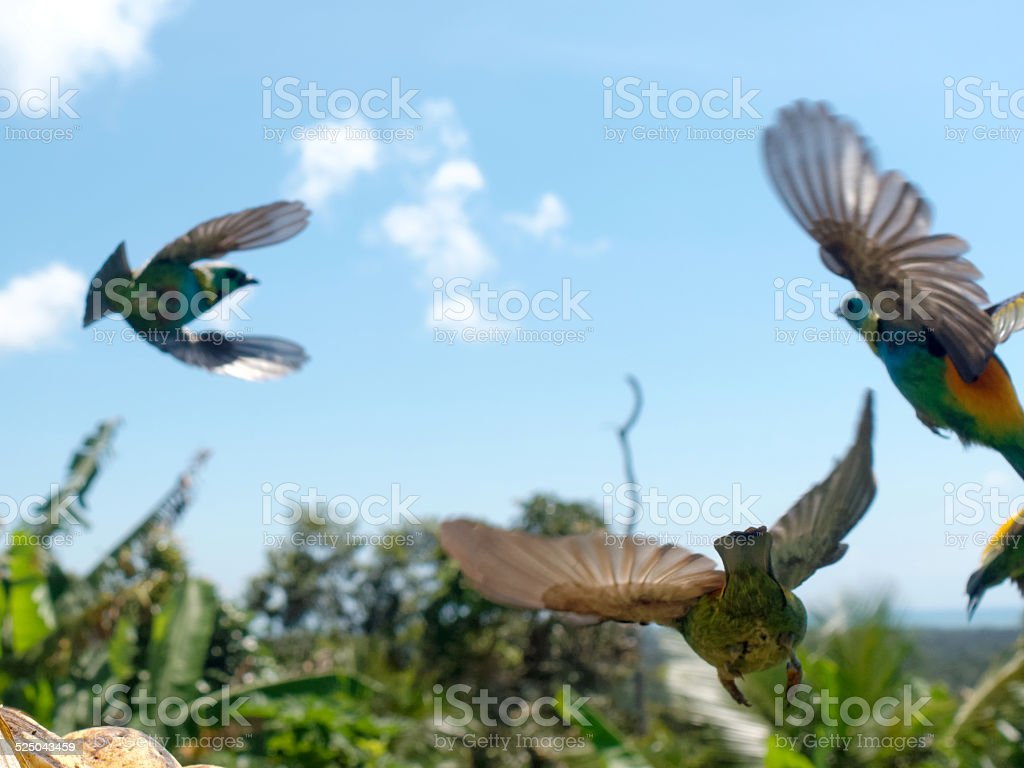 Three Green-headed Tanigers photographed in mid-air. stock photo