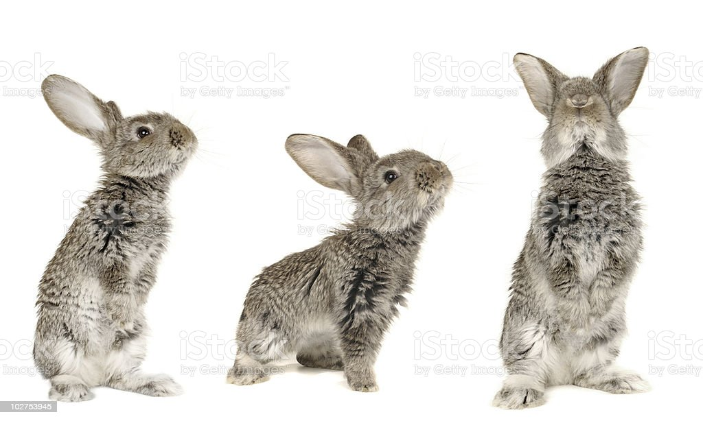 Three grey  rabbit stock photo